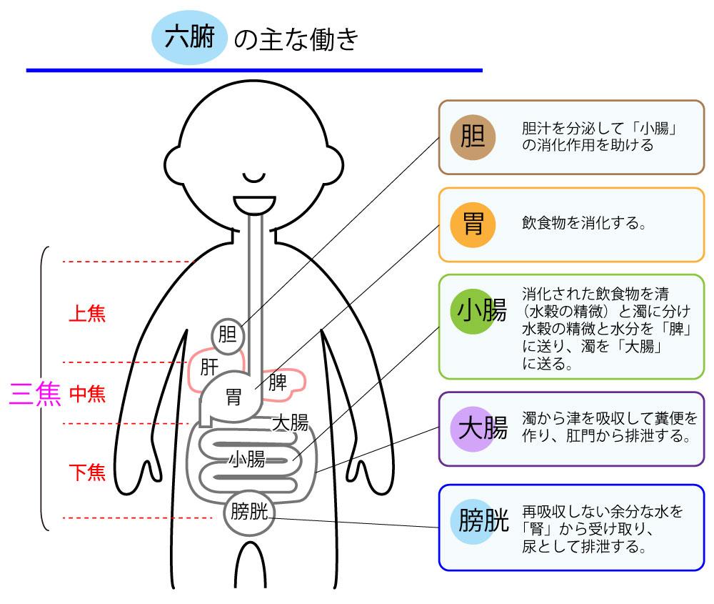 六腑(胆・小腸・胃・大腸・膀胱・三焦) | 臓象②
