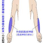 結滞動作で起こりやすい「外側前腕皮神経」領域の知覚障害!